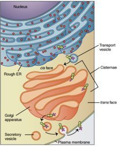 golgi complex- nice visual and I like how it shows exocytosis in the picture, too!