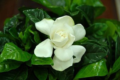 20 Plants for Espalier Growth Gardenia flowers can be grown in espalier form. Photo by Ayman Babelly.