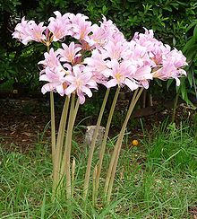 "Resurrection Lily, or as my grandmother said, ""Naked ladies."" They're fun - leaves, then nothing at all; then when you've forgotten all about them - surprise! - long stems & flowers in late July/Aug."