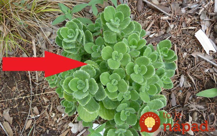 Rastlina, na ktorú sa pozeráte nie je mäta. Prečítajte si, prečo by nemala chýbať vo vašej domácnosti!