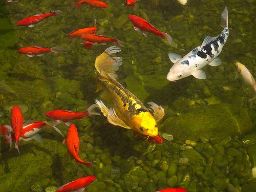 52 best images about koi and their ponds on pinterest for Japanese garden koi fish