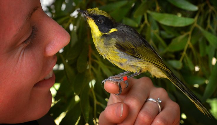Critically endangered Helmeted Honeyeaters returned to the wild last Thursday!