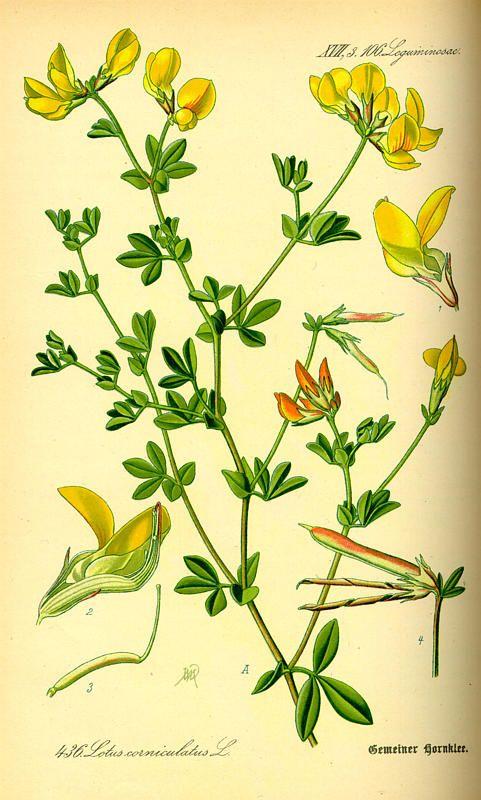 Flora von Deutschland Österreich und der Schweiz (1885) lotus corniculatus aus der Familie Fabaceae