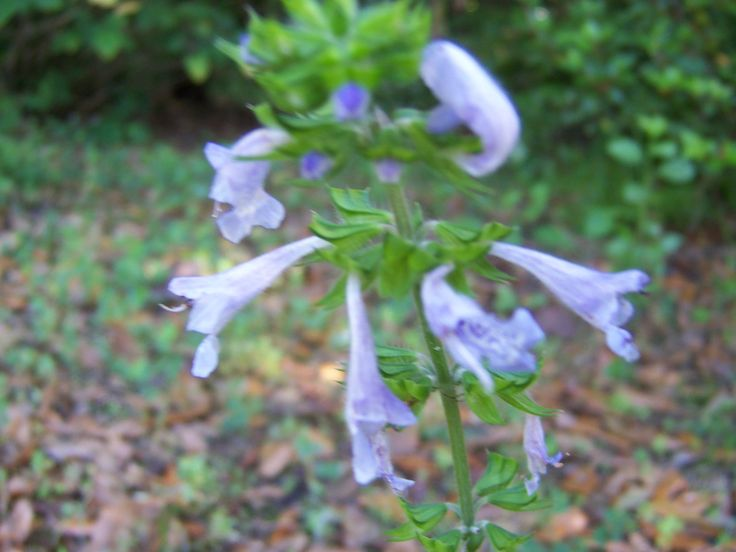 This native salvia pops up all over the place in spring.