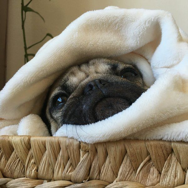 Doug The Pug (@itsdougthepug) | Twitter ----- P.S. click on the image to check out our Funny Pugs T-shirt today! All sizes available in different colors.