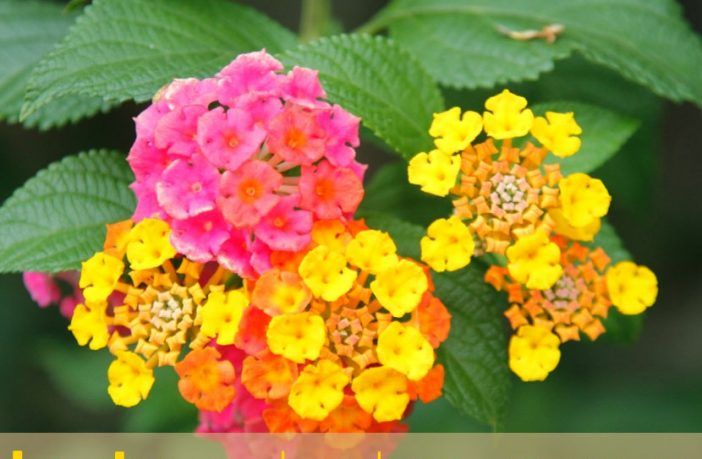 Health Benefits Of Common Lantana In 2020 Lantana Camara Lantana Small Purple Flowers