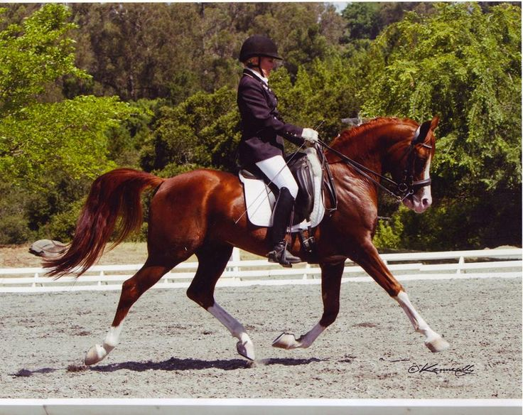 Arabian dressage horse a record breaker - Features, Focus ...