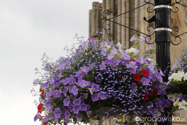 Kwiaty w wiszących koszach - sadzenie i pielęgnacja - Ogrodowisko