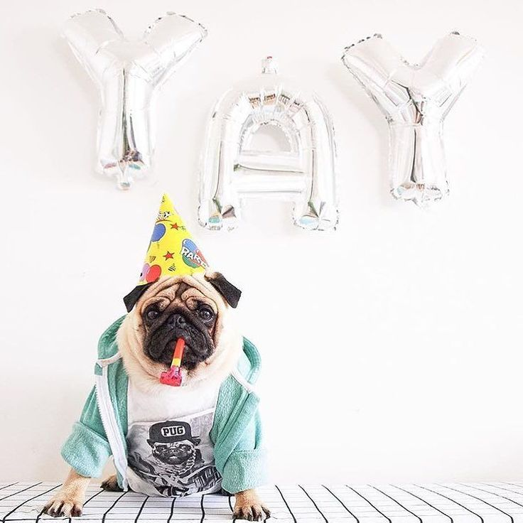 Happy 1st birthday Ulrich! Photo by @dog_and_teepee  Want to be featured on our Instagram? Tag your photos with #thepugdiary for your chance to be featured.