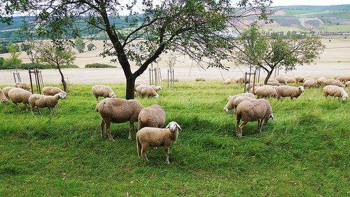 Das Hausschaf (Ovis orientalis aries) ist die domestizierte Form des Mufflons. Es spielt in der Geschichte der Menschheit eine bedeutende Rolle als Milch-, Lammfleisch- beziehungsweise Hammelfleisch-, Woll- und Schaffelllieferant.   ww.adaklikkoyunfiyatlari.com