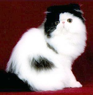 Black & White Persian Cat