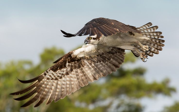 Osprey by Elizabeth  E. on 500px