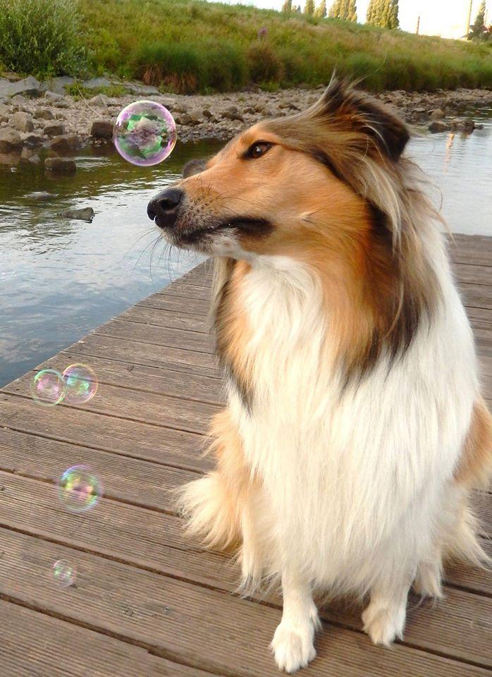 Collie contemplating bubbles