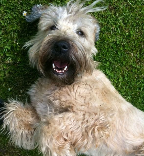 Dog Breed That Looks Like A Rug: 113 Best Soft Coated Wheaten Terriers Images On Pinterest
