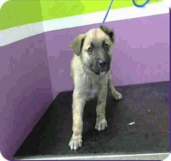Denver, CO - German Shepherd Dog/Anatolian Shepherd Mix. Meet Teddy, a puppy for adoption. http://www.adoptapet.com/pet/17462479-denver-colorado-german-shepherd-dog-mix