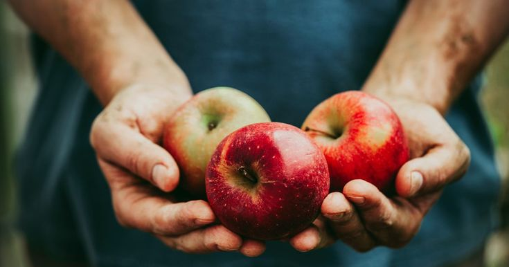 Acid reflux occurs when the esophageal sphincter connecting the esophagus to the stomach does not function properly, allowing stomach digest to move backward into the esophagus and exposing it to stomach acids. This causes the burning pains known as heartburn. Apples can be used to treat symptoms of gastroesophageal reflux disease (GERD),...