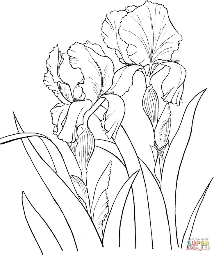 Iris color pencil flower garden german iris or iris for Iris flower coloring page