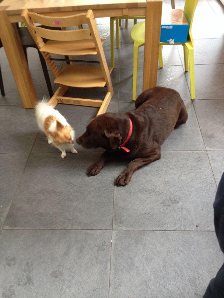 Labrador met Pukkie
