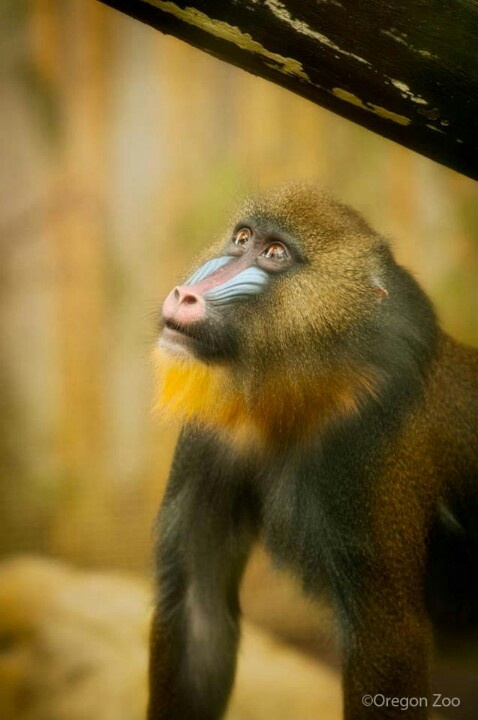 1000 images about baboon mandrill on pinterest ethiopia for Tattoo grand rapids mn
