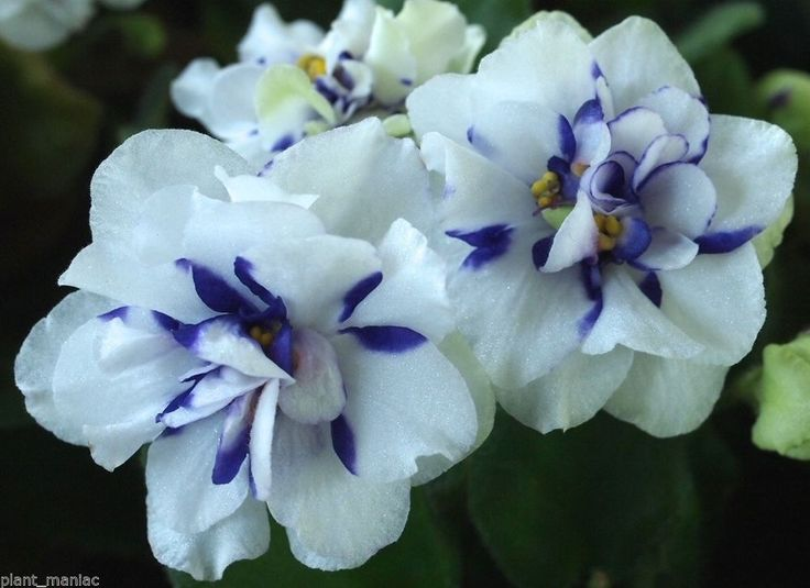 2913 best images about African Violets on Pinterest ...