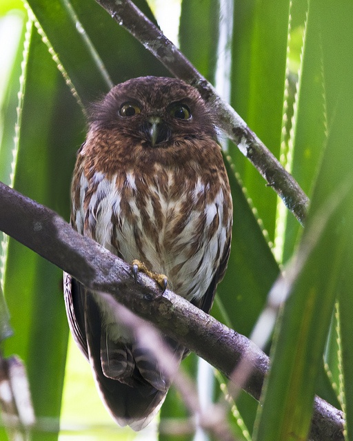 Philippine Hawk-Owl | Only in the Philippines | Pinterest ...