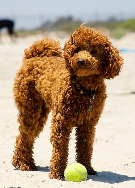 Red Miniature Poodles are one of my favorites dogs. Smart, obedient and loyal.