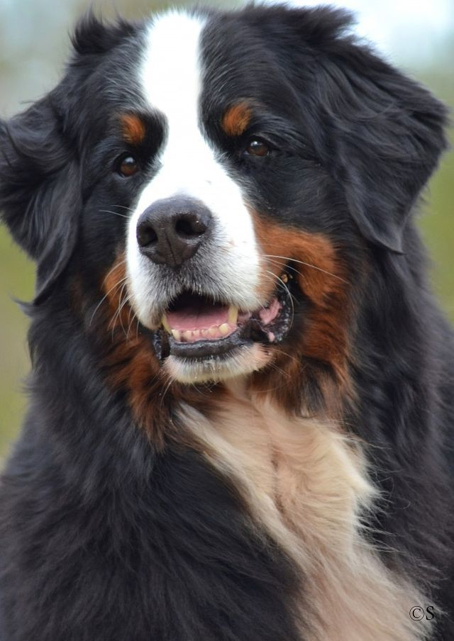Berner Sennen, such beautiful dogs! We had one when I was young.