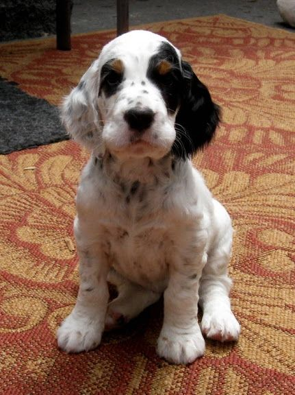english setter puppy makes me want to get another one of these cuties!