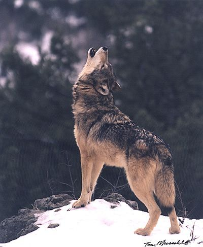 Wolves Howling | Wildlife Photography > PREDATORS > Wolves > Wolf Howling: