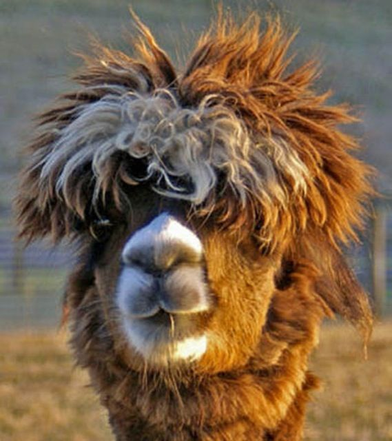 Best Llama Tell You Somethin Bout It Images On Pinterest - 22 hilarious alpaca hairstyles