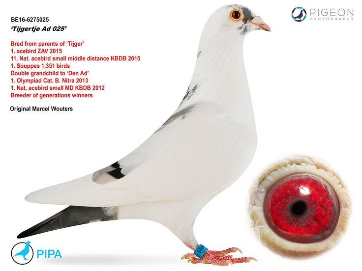 BE16-6275025 | Tijgertje Ad 025