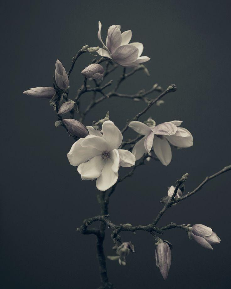 magnolia ///        by Pete Hollow         (via jj3jaj)