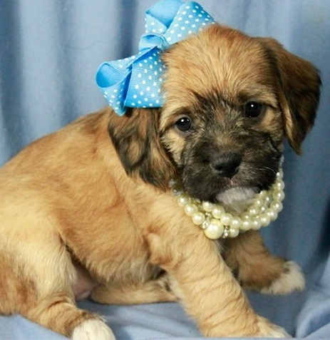 poodle pug mix 17 best images about puggles on pinterest poodles pug 2876