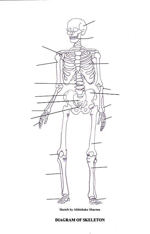 labeled skeletal system diagram school and skeleton labeled. Black Bedroom Furniture Sets. Home Design Ideas