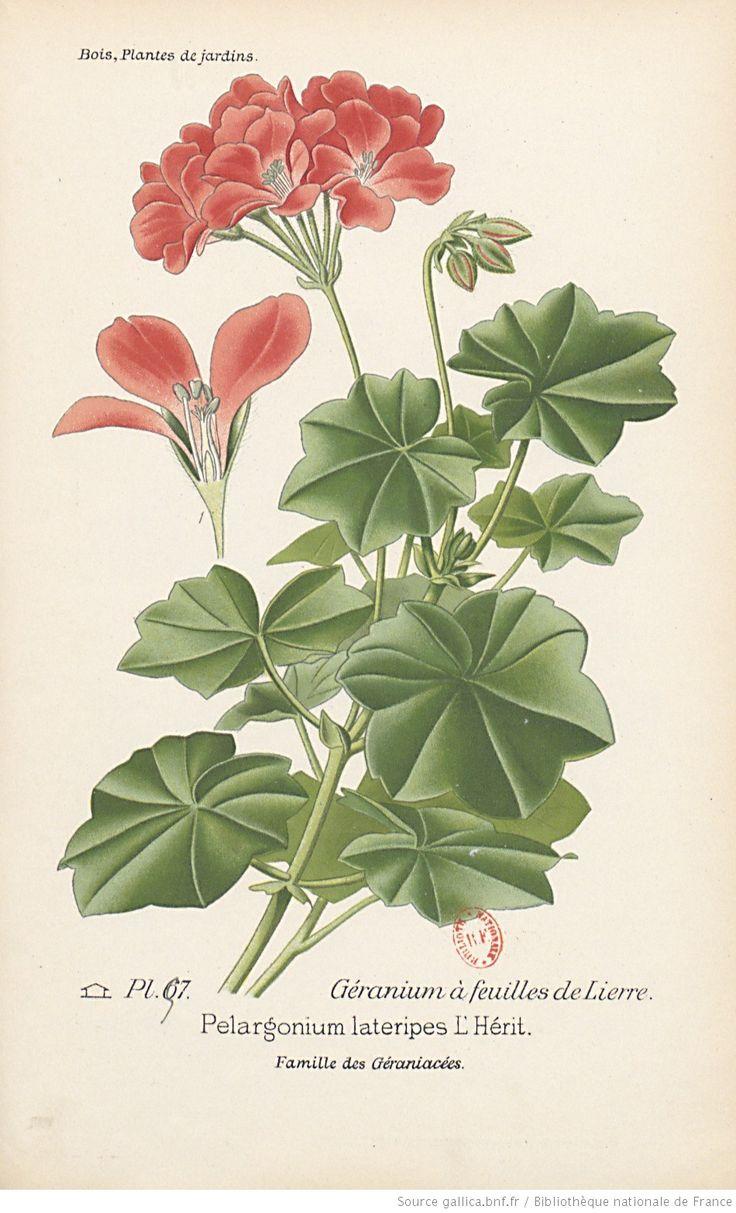 17 meilleures id es propos de plants de lierre sur for Comment arroser les geraniums