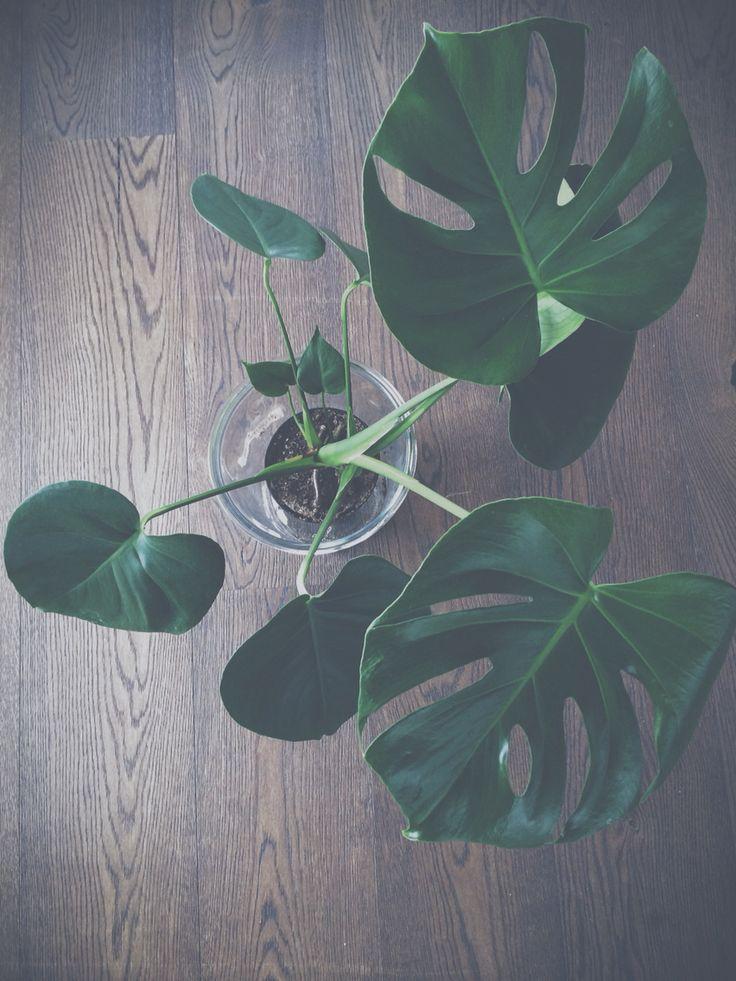 Love plants . Monstera in My kitchen