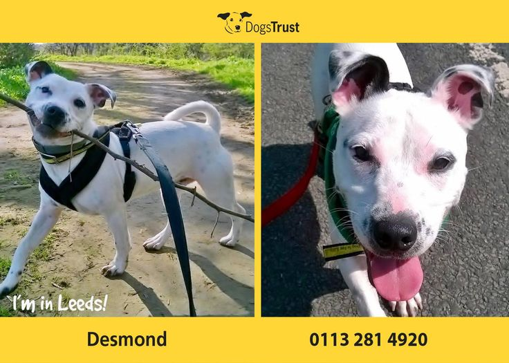 Desmond at Dogs Trust Leeds was found as a stray so we have little information on his background. He likes to be with people and will need owners around all day initially until he settles in. Desmond is good with dogs although he can be very OTT. He may live with another dog to act as a good role model for him.