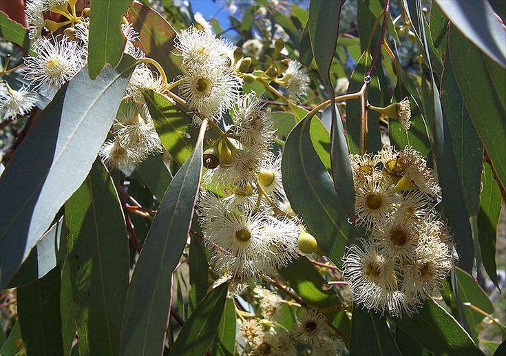 Yellowbox flowers (Eucalyptus melliodora) The flowers of Eucalyptus melliodora are a source of a much loved variety of honey.  Credit: Flagstaffotos