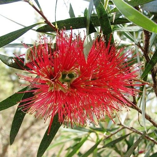 Callistemon 'Kings Park Special' a really tall red bottlebrush from the famous Perth botanic gardens #privacy #screen #wildlifefriendly #hedge