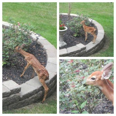 How I Saved my Garden from deer- useful list of what worked and didn't work for this blogger.