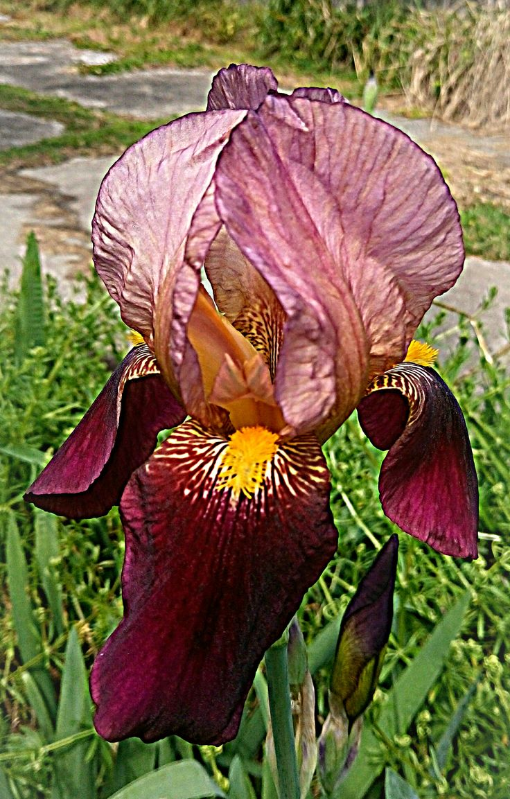 Bearded Irises are starting to appear, in this area.