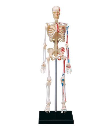 Another great find on #zulily! 4-D Human Skeleton Model #zulilyfinds