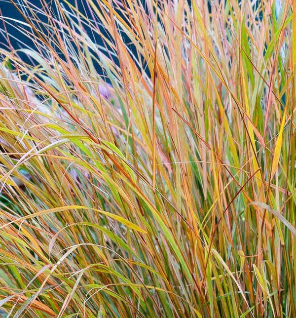 Gorgeous, fast growing, tough as nails, Anemanthele lessoniana or Stipa arundinacea (Pheasant's Tail Grass) is an elegant and impressive ornamental grass that has become a favorite of landscape designers and gardeners.