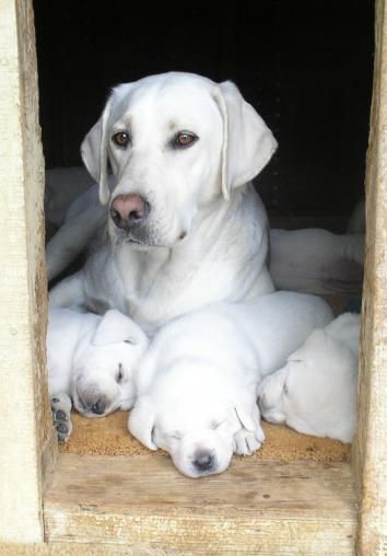 white lab, white labrador retriever puppies Reminds me of Ruby.