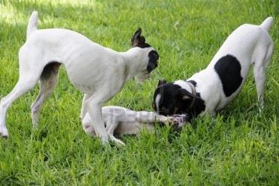Fox Terrier Jugando Fotos, Retratos, Imágenes Y Fotografía De Archivo Libres De Derecho. Image 17947642.