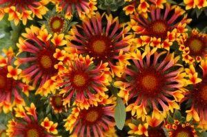 Blanket Flower (Gaillardia aristata) 'Fanfare'