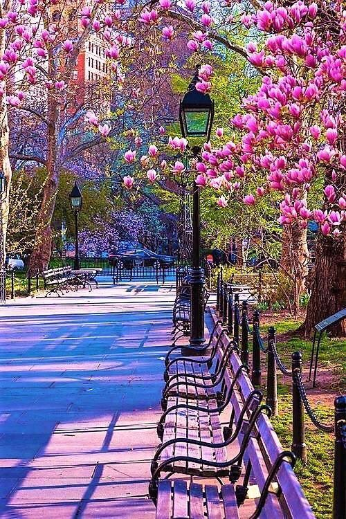 5d904295afb Pre-summer in Central Park   Twitter.com #magnolia #pinkflower #centralpark  #nyc