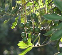 Macadamias growing on tree