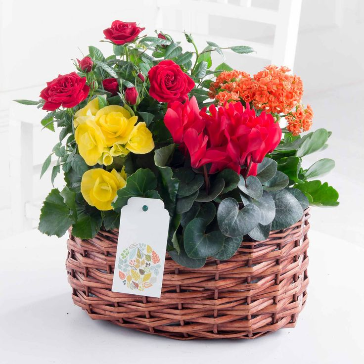 Autumn Medley Basket: What a great way to instill colour into a home this Autumn! Featuring Rose, Kalandiva, Begonia and Cyclamen, this woven indoor basket is a beautiful gift to raise a smile today.