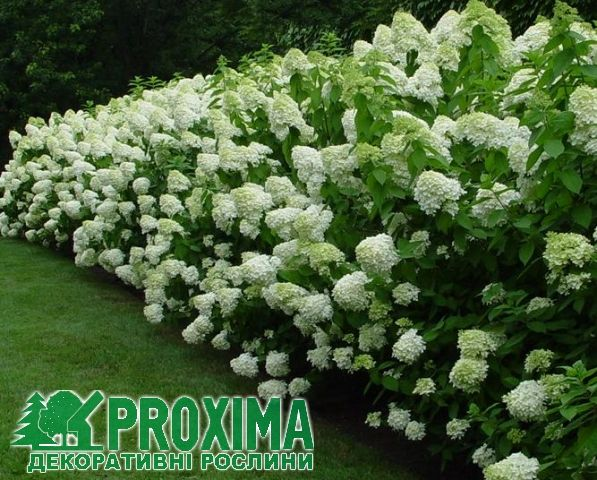 Гортензия метельчатая Лаймлайт Hydrangea paniculata Limelight Гортензія метельчата Лаймлайт